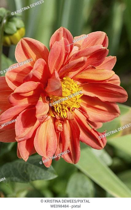 An orange red multi layered Dahlia