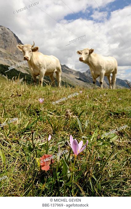 Floering Meadow Saffron on alpine meadow with two cows on the background