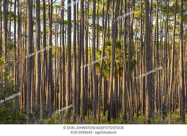Long leaf pine woodland, St. Marks NWR, Florida, USA