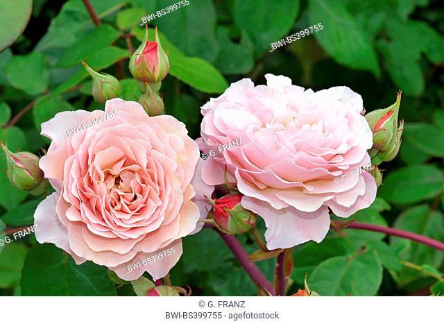 ornamental rose (Rosa 'Leander', Rosa Leander), cultivar Leander