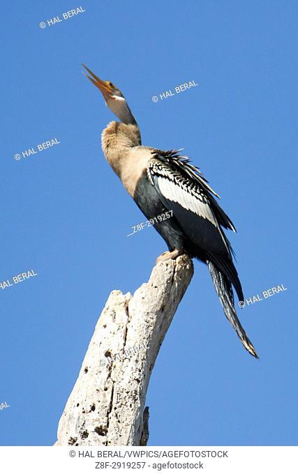 Anhinga (Anhinga anhinga) Pantanal, Brazil