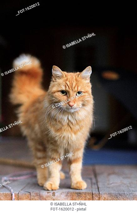 Portrait of ginger cat standing on floorboard