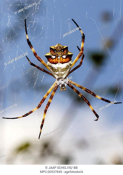 Silver Argiope (Argiope argentata) female in web, Curacao, Caribbean