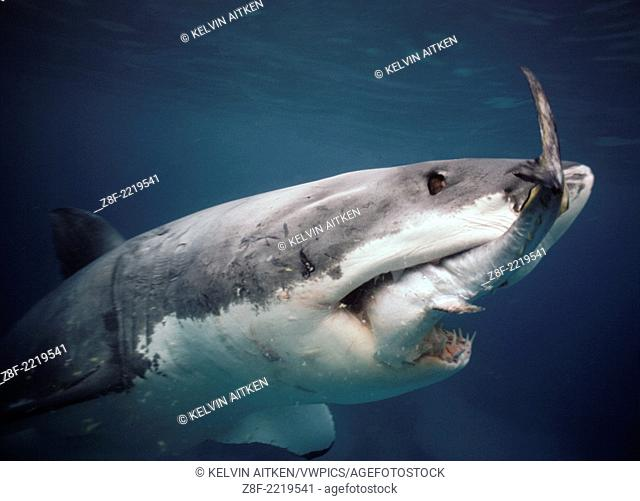 Great White Shark (Carcharodon carcharias) feeding on Southern Bluefin Tuna (Thunnus maccoyii) Australia Neptune Islands