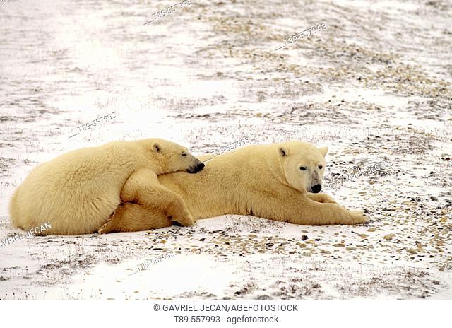 Canada, Manitoba, Churchill Polar bear mother with cub