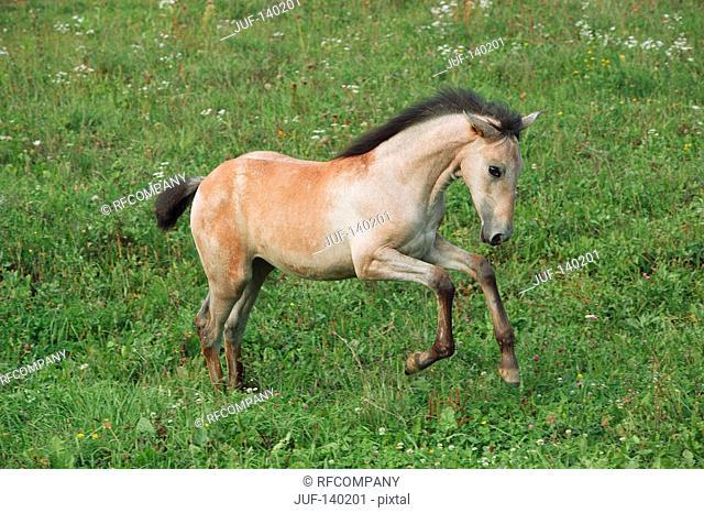 lusitano horse foal - galloping on meadow