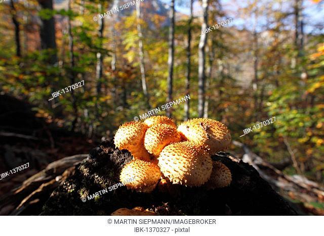 Pholiota mushroom (Pholiota sp), young mushrooms on stump, Risnjak National Park, Gorski Kotar region, Croatia, Europe