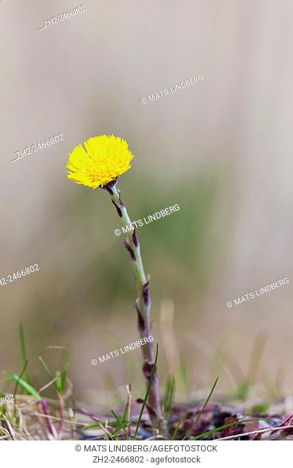 one Coltsfoot standing alone
