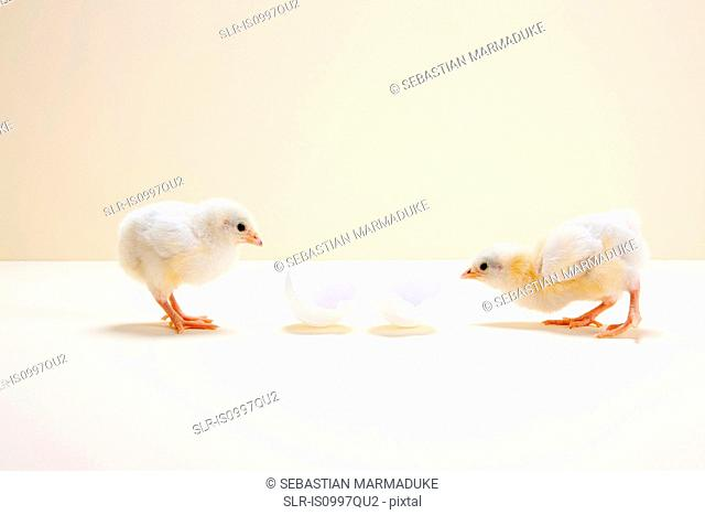 Two chicks looking at egg shell, studio shot