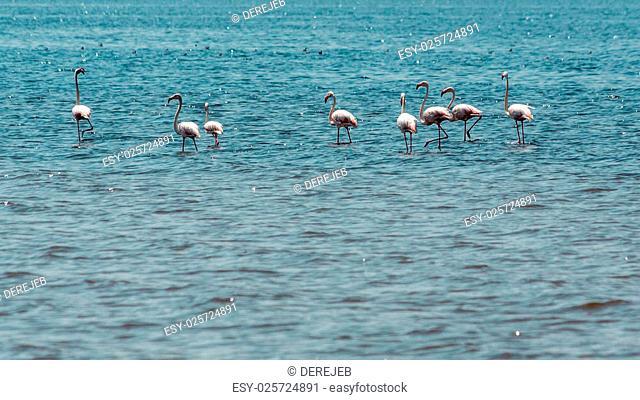 Pink flamingos wading in the waters of Lake Abiyata found in Oromia region of Ethiopia