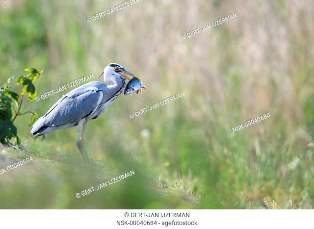 Grey Heron (Ardea cinerea) with a fish in its beak, The Netherlands, Overijssel