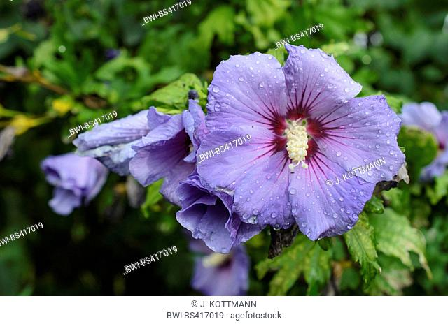 shrubby althaea, rose-of-Sharon (Hibiscus syriacus), flowers