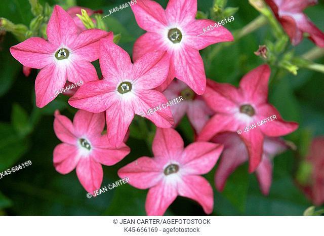 Jasmine Tobacco (Nicotiana alata). Private garden in Cannon Beach. Northern Oregon coast, USA