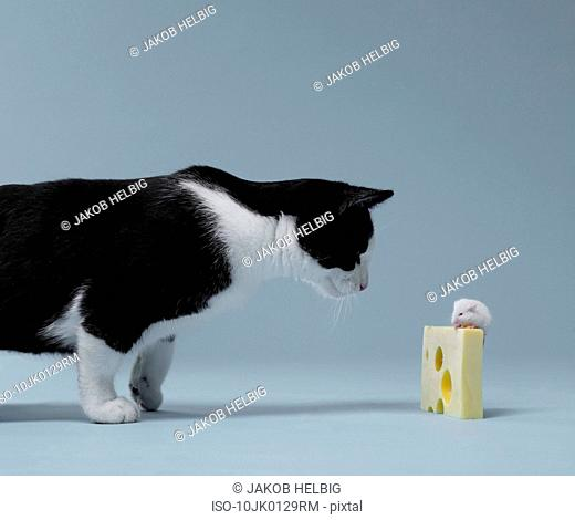 Cat ready to attack mouse