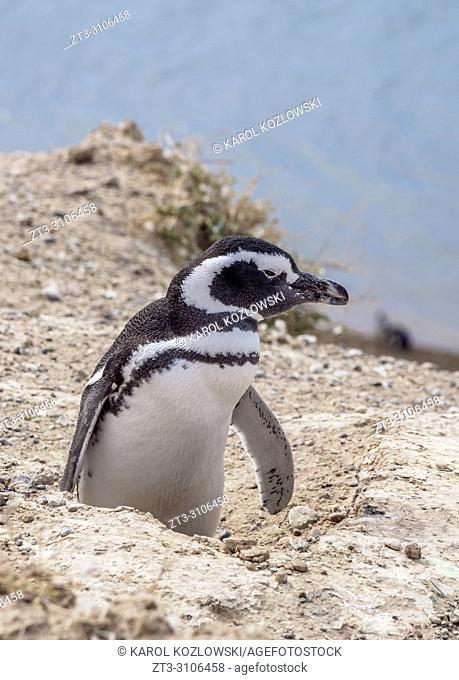 Magellanic penguin (Spheniscus magellanicus) in Caleta Valdes, Valdes Peninsula, UNESCO World Heritage Site, Chubut Province, Patagonia, Argentina