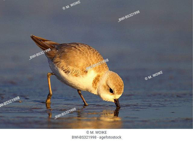 Piping plover (Charadrius melodus), looking for food in the tidal flat, USA, Florida