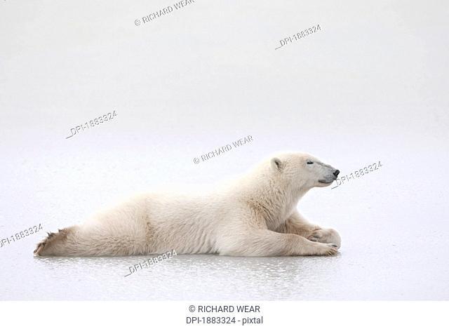 Polar Bear Ursus Maritimus Laying On A Lake Of Ice, Churchill, Manitoba, Canada