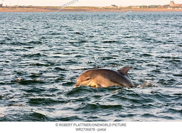 United Kingdom, Scotland, Highlands, Fort Isles, Chanonry Point, Black Isle, Tursiops swimming, Bottlenose Dolphins