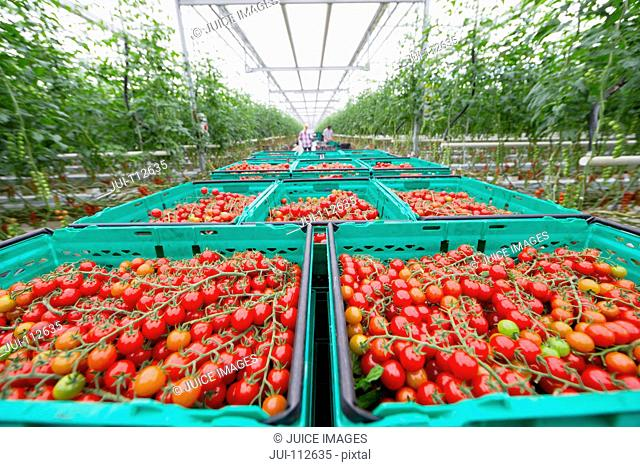 Abundance of ripe red vine tomatoes in crates in greenhouse