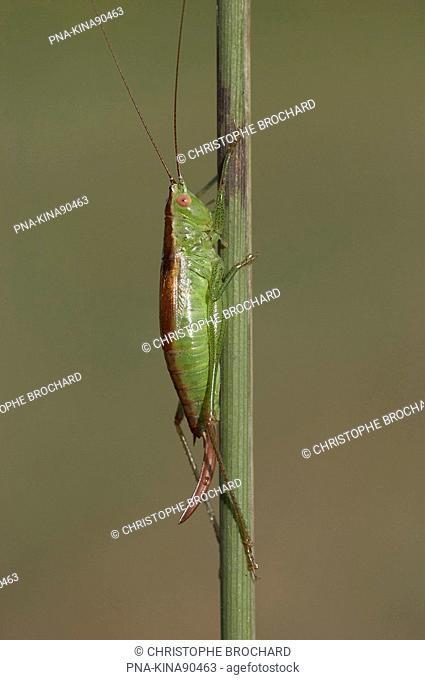 Short-winged Cone-head Conocephalus dorsalis - Slochteren, Groningen, The Netherlands, Holland, Europe