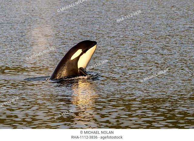 Killer whale calf (Orcinus orca) spy-hopping at sunset near Point Adolphus, Icy Strait, Southeast Alaska, United States of America, North America