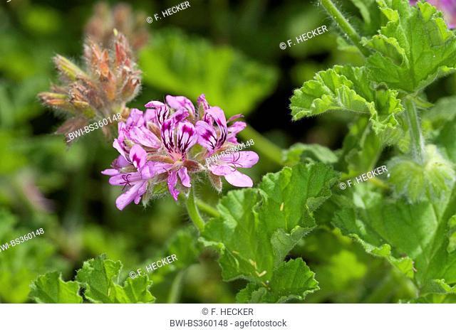 Old fashion rose geranium, Rose Geranium (Pelargonium graveolens), blooming