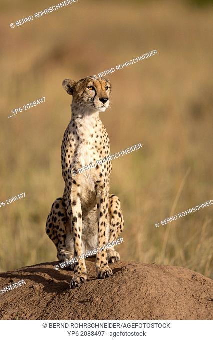 Cheetah (Acinonyx jubatus) sitting on termite mound, Masai Mara, Kenya