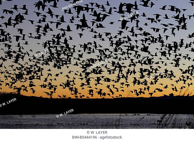 snow goose (Anser caerulescens, Chen caerulescens), flock at the evening sky, USA, New Mexico