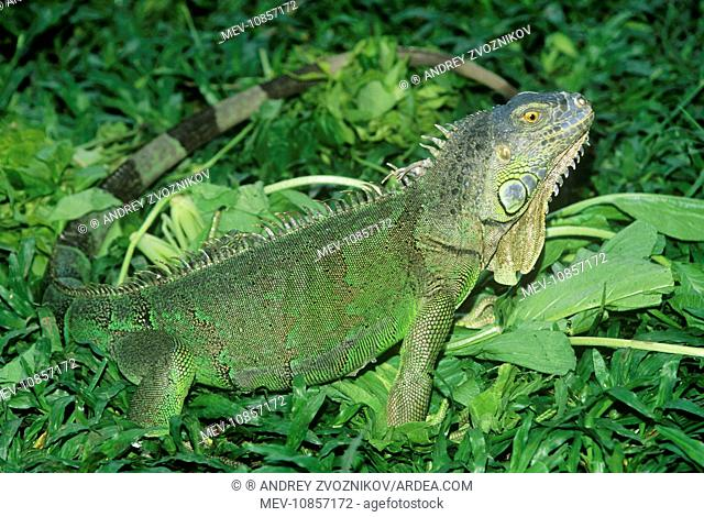Green IGUANA - side view, amongst green foliage (Iguana iguana). Bali Reptile Park, Bali Island, Indonesia