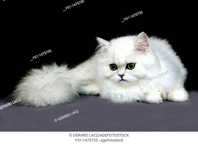 Chinchilla Persian Domestic Cat, Adult against Black Background