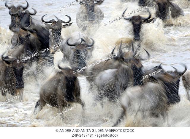 Herd of Blue Wildebeest (Connochaetes taurinus) crossing the Mara River with motion blur, Serengeti national park, Tanzania