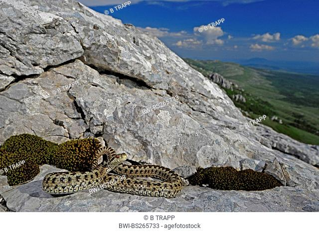 meadow viper, Orsini's viper Vipera ursinii, lying on a rock, Croatia, Velebit
