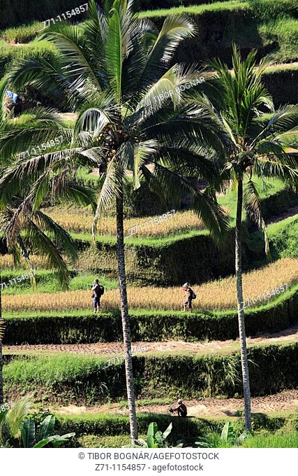 Indonesia, Bali, Tegallalang, rice fields, landscape