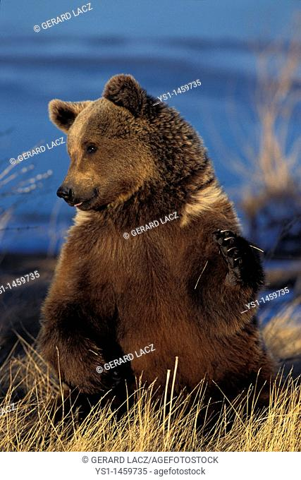 GRIZZLY BEAR ursus arctos horribilis, ADULT SITTING, ALASKA