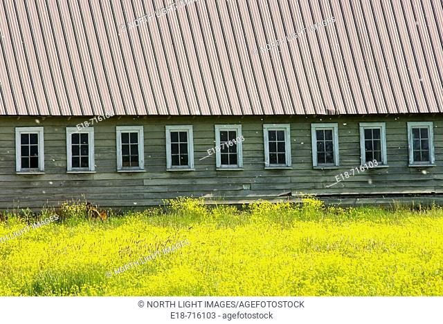 Yellow field and farm building, Surrey, BC, Canada