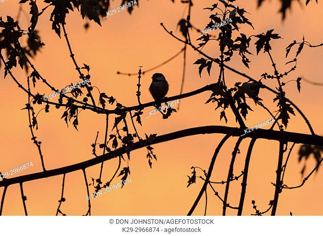 Morning sky with silhouetted tree branches and chickadee, Greater Sudbury, Ontario, Canada