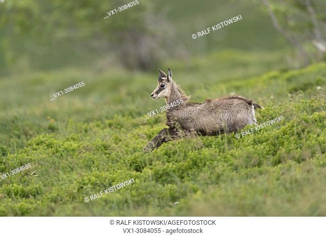 Chamois ( Rupicapra rupicapra ) young adolescent, running down towards the valley, playful, full of joy, jumping over fresh green low shrubs, Europe