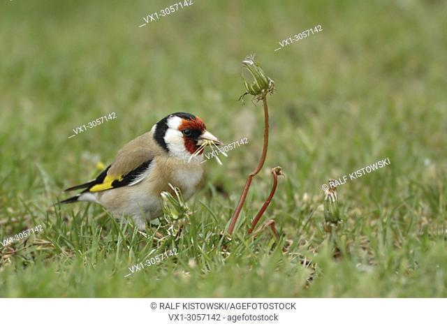 European Goldfinch ( Carduelis carduelis ), colorful male, sitting in grass on the ground, eating seeds of dandelion, wildlife, Europe