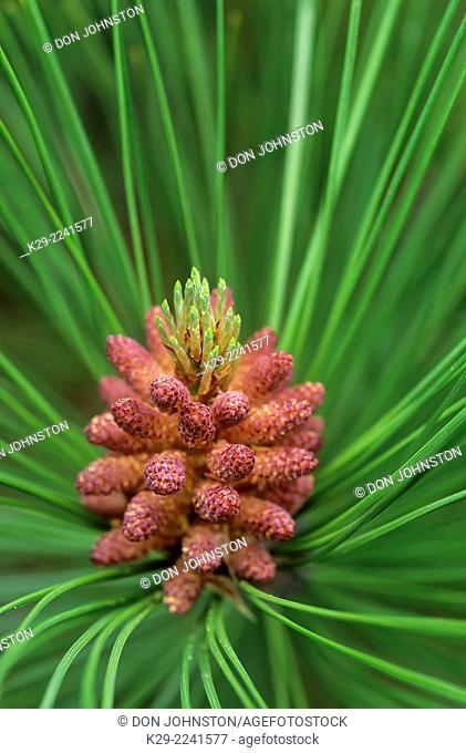 Red pine (Pinus resinosa) Needles and developing cones, Greater Sudbury, Ontario, Canada