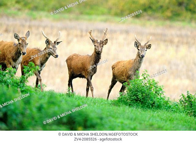 Red deer (Cervus elaphus) standing on a meadow, Germany