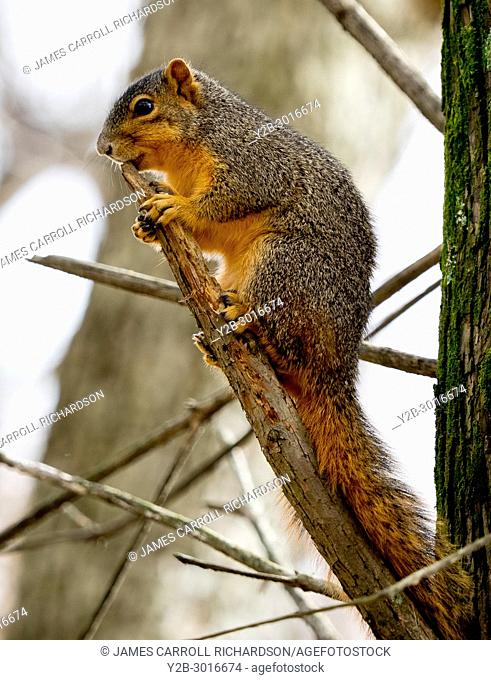 Red squirrel in tree at Reelfoot Lake State PArk in Tennessee