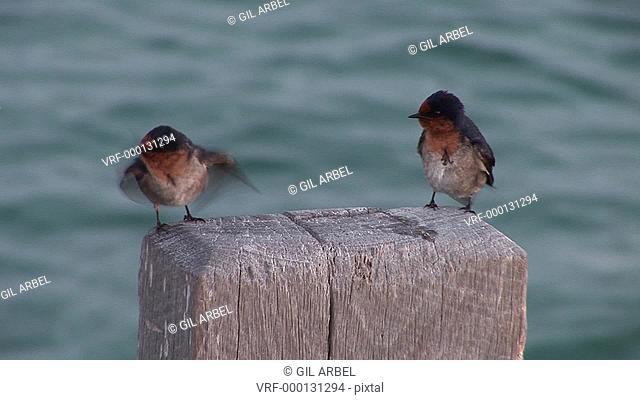 Welcome Swallow Hirundo neoxena young birds preening. Australia