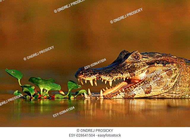 Portrait of Yacare Caiman in water plants, crocodile