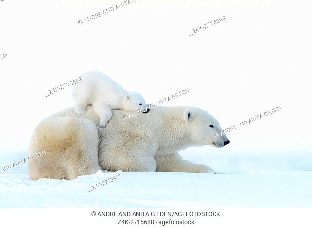 Polar bear mother (Ursus maritimus) lying down on tundra and playing with new born cub, Wapusk National Park, Manitoba, Canada