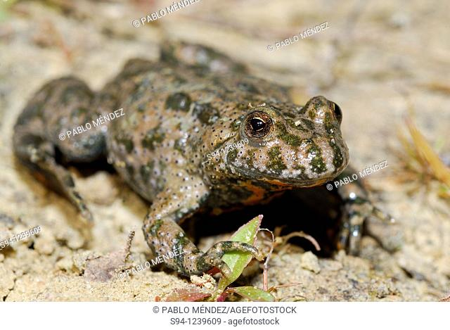 Fire-bellied toad Bombina bombina in Kühren, Schleswig-Holstein, Germany