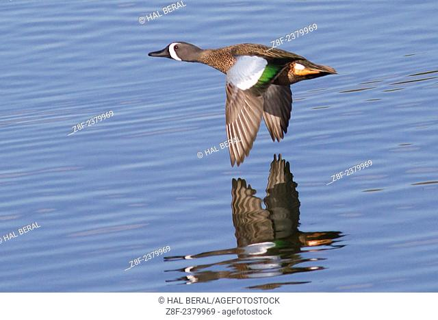 Male Blue-Winged Teal Duck in flight with reflection