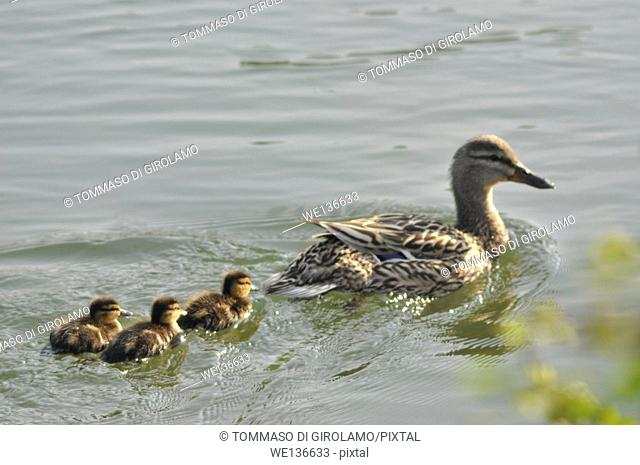 Animals, duck, Chicks newborn Anas platyrhynchos domesticus