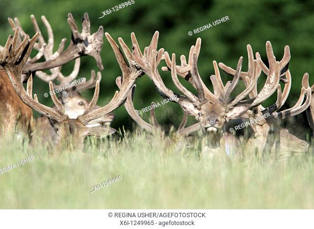 Red Deer Cervus elaphus, herd of stags resting, Germany