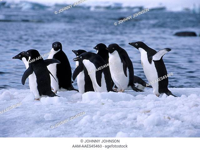 Adelie Penguins (Pygoscelis adeliae) on iceberg, Weddell Sea, Antarctica, November