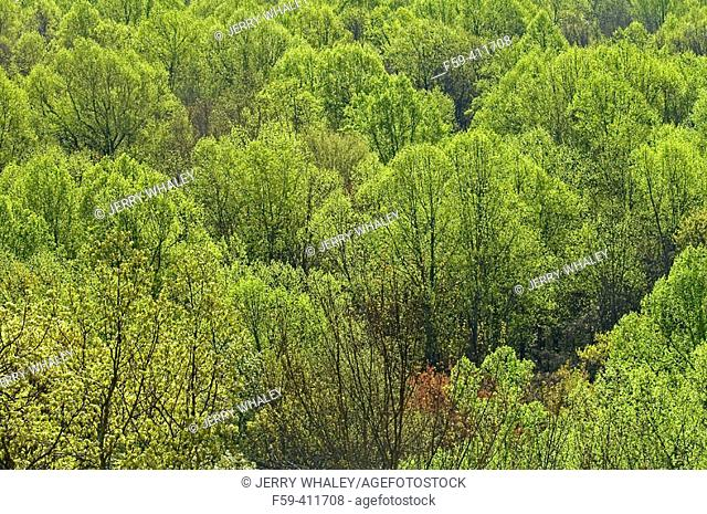 Early Spring Foliage. Hardwood Forest, Great Smoky Mtns Nat. Park. Tennessee. USA